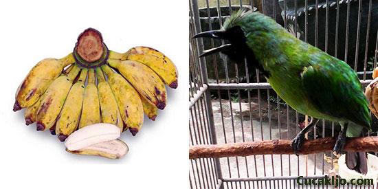 cucak ijo makan pisang kepok putih