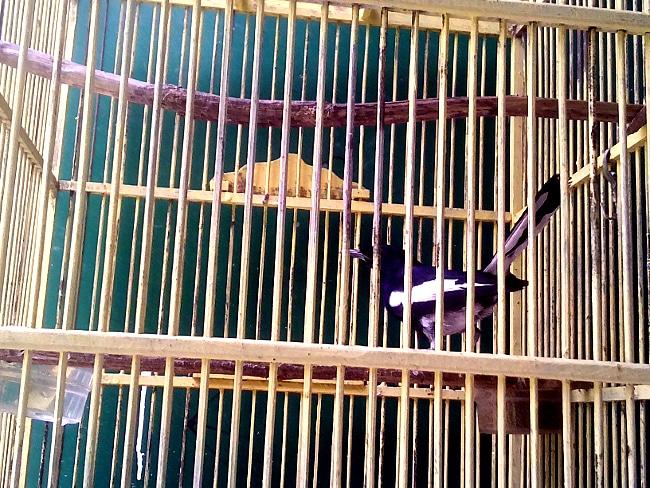 memelihara burung di rumah